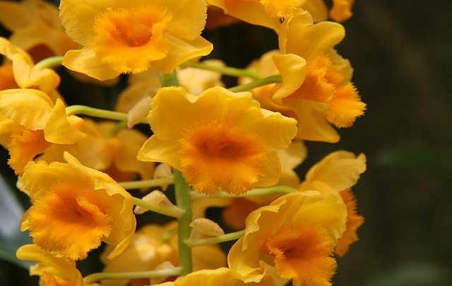 Dendrobium-densiflorum-1