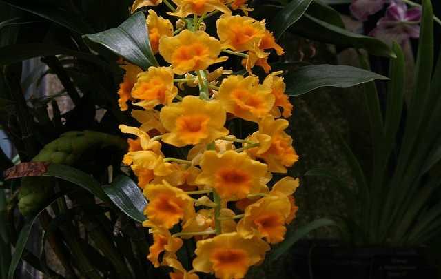 Dendrobium-densiflorum-2