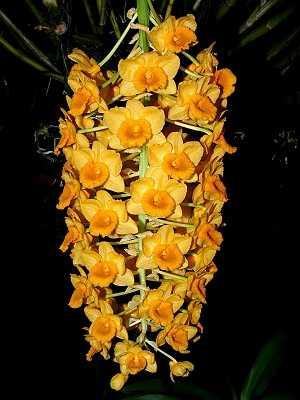 Dendrobium-densiflorum-3