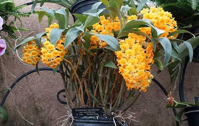 Dendrobium-densiflorum