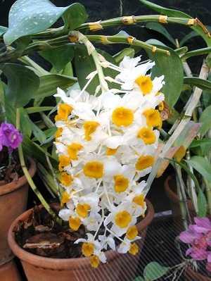 Dendrobium-thyrsiflorum-2