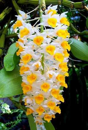 Dendrobium-thyrsiflorum-3