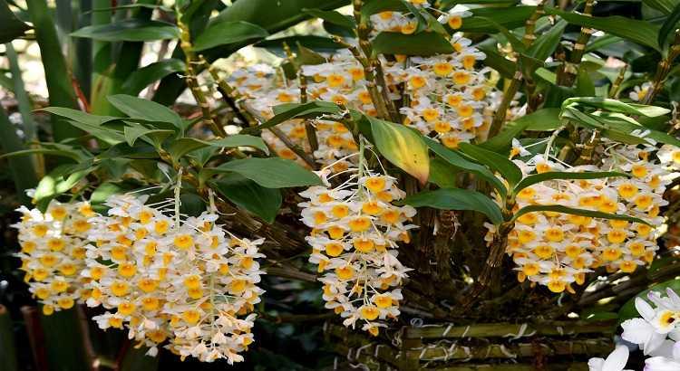 Dendrobium Thyrsiflorum - Como Cuidar Dela? Veja Aqui! 16