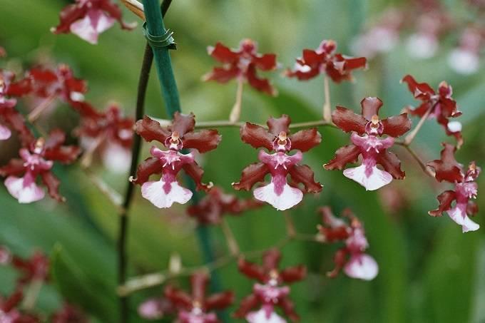 Oncidium-com-flores-marrom