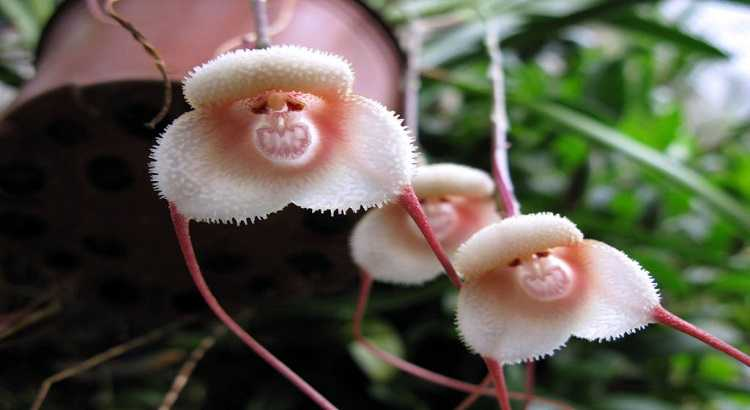 Orquídea Cara De Macaco - Fotos, Curiosidades e Muito Mais 8