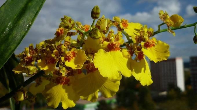 Orquídea-Oncidium