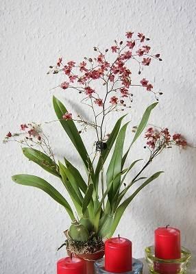 Orquídea-chuva-de-ouro-no-vaso