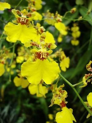Orquídea-chuva-de-ouro