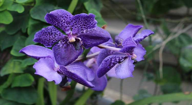 Vanda Azul (Coerulea) - Aprenda Tudo Sobre Essa Orquídea 23