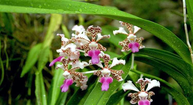 Vanda Tricolor - Aprenda Como Cultivar Essa Orquídea Em 7 Passos 19