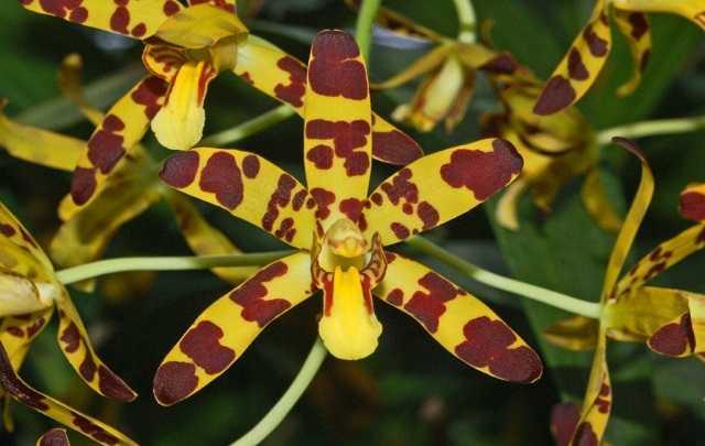 Ansellia-africana-flor