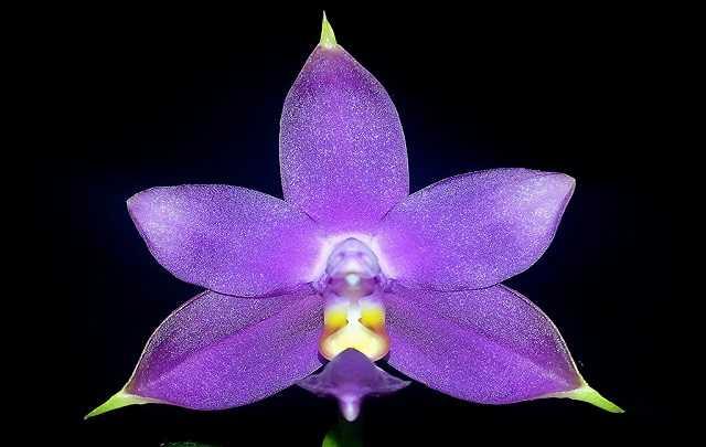 Phalaenopsis-violacea-1