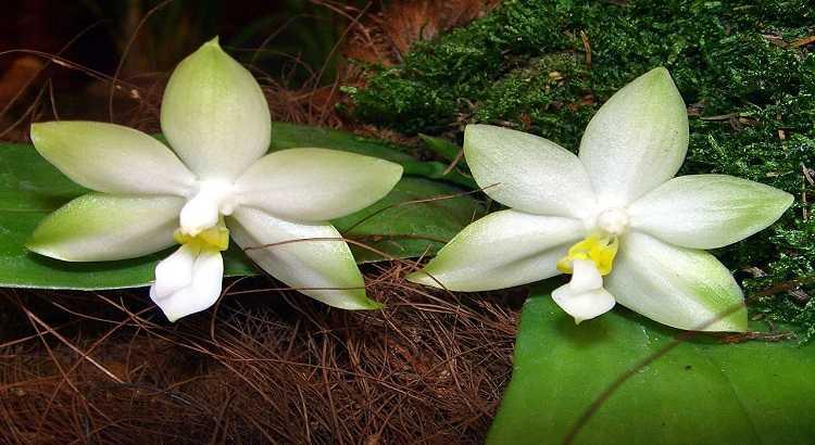 Phalaenopsis Violacea - Descubra Os Segredos Para Cultivá-la 10