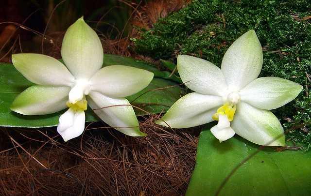 orquídea-phalaenopsis-violacea