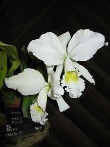 Cattleya-labiata-alba