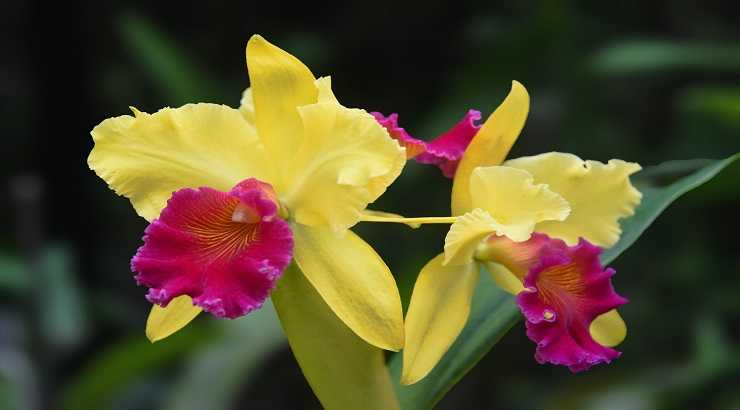 Cattleya Labiata - Descubra Tudo Sobre a Rainha do Nordeste 8