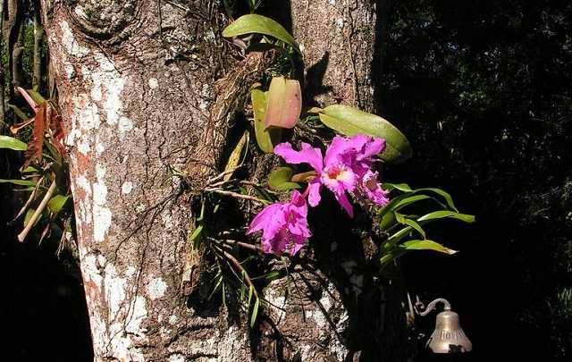 Cattleya-labiata-habitat