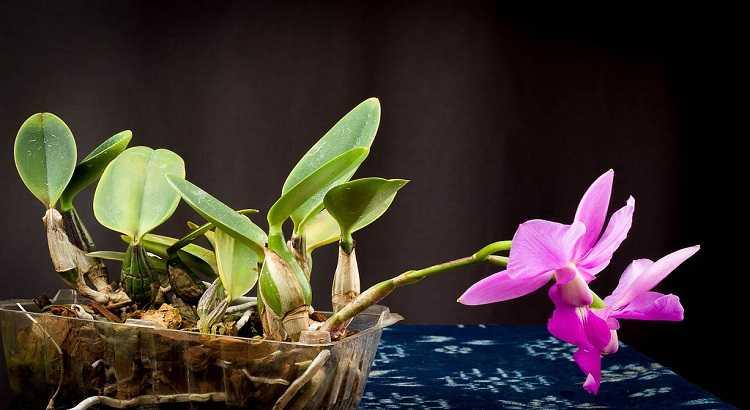 Orquídea Cattleya Walkeriana - Como Cultivá-la em 7 Passos 1