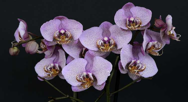 Orquídeas Classificações Inferiores - Isso Você Não Sabia 23