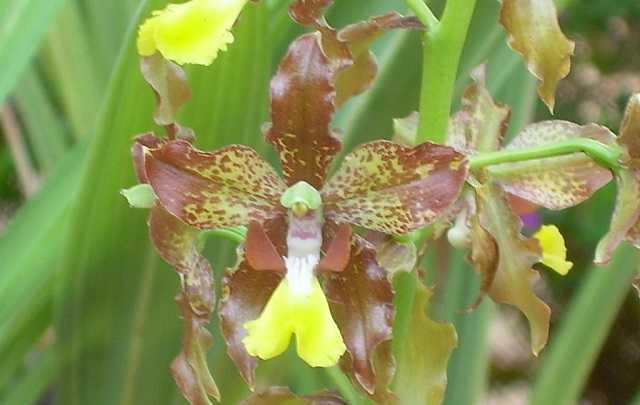 Cyrtopodium-blanchetii