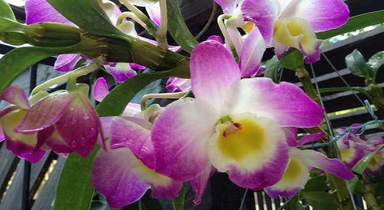 Como Cuidar da Dendrobium Nobile (Orquídea Olhos de Boneca) 22