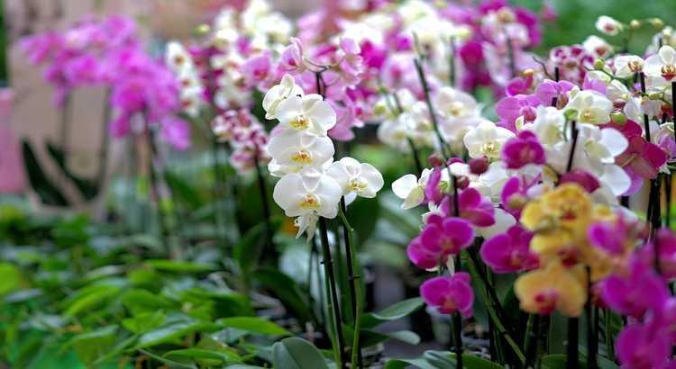 Espécies de Orquídeas - Quantas Existem, Tipos e Principais Espécies 25