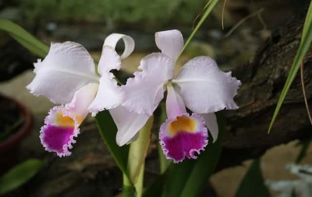 Fazer-orquídea-dar-flores