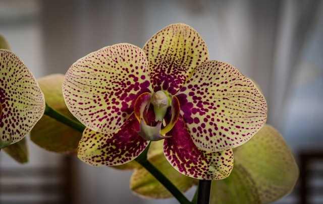Floração-phalaenopsis
