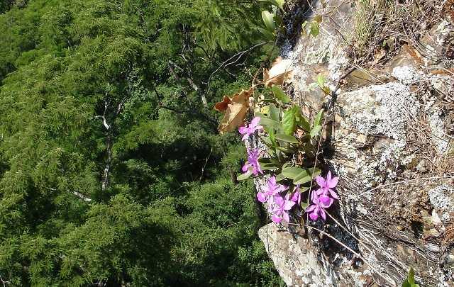 Habitat-natural-da-cattleya-walkeriana