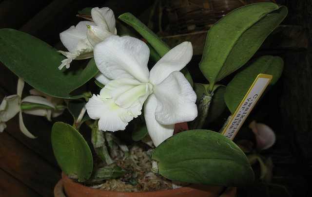Orquídea-cattleya-walkeriana