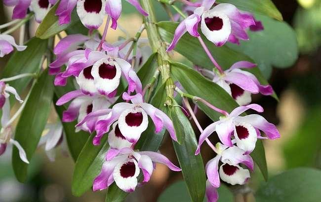 Orquídea-dendrobium-nobile