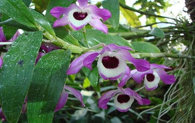 Orquídea-olho-de-boneca