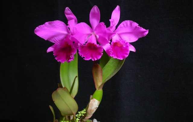 Orquídea-rainha-do-nordeste