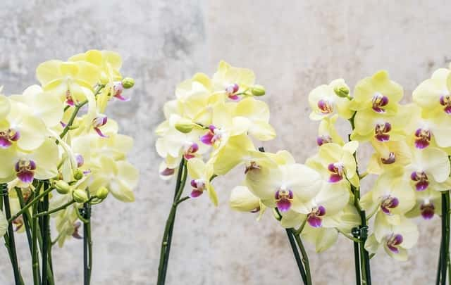 Orquídeas-florescendo