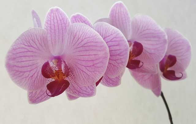 Phalaenopsis-rosa
