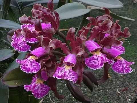 Cattleya-schilleriana-orquídea