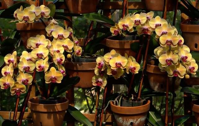 Como-cuidar-de-orquídeas-1