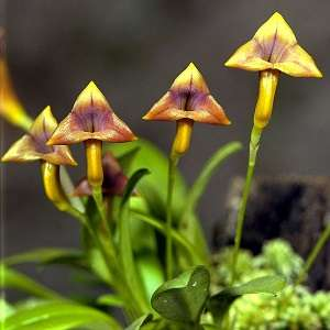 Masdevallia-amarela