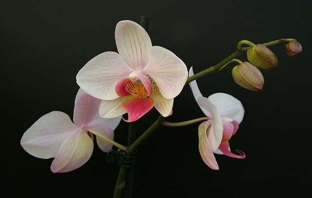 Orquídea-branca