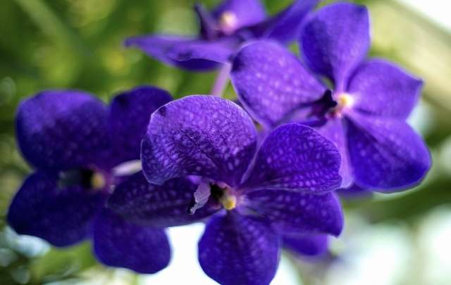 Orquídea-da-espécie-vanda