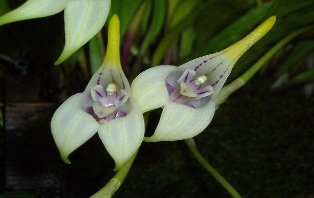 Orquídeas-Masdevallia