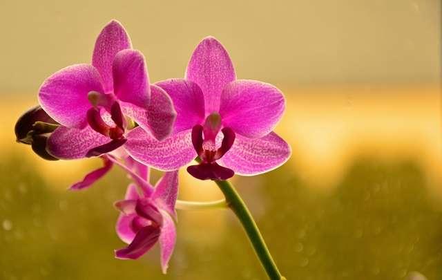 Orquídeas-borboleta-curiosidades