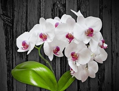 Phalaenopsis-com-flores-brancas