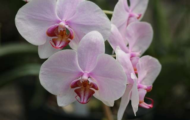 Sobre-as-phalaenopsis