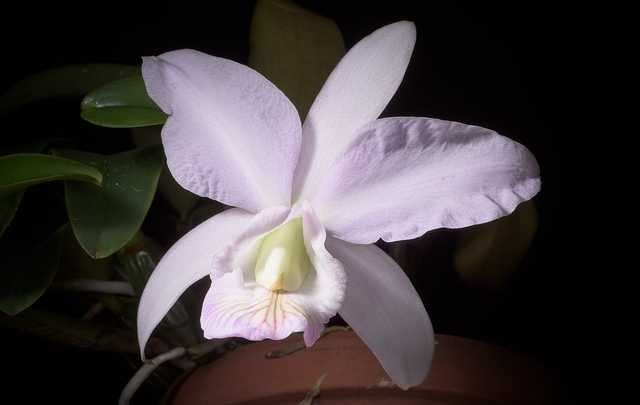 Cattleya-nobilior-branca