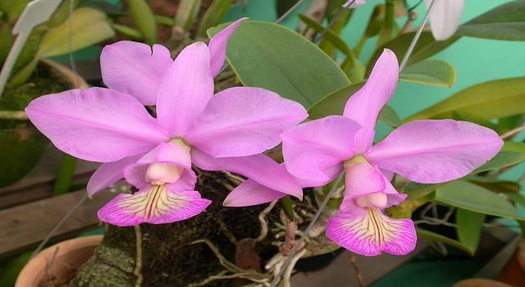 "Cattleya Nobilior - Como Cultivar a ""Orquídea Rainha do Cerrado"" 14"