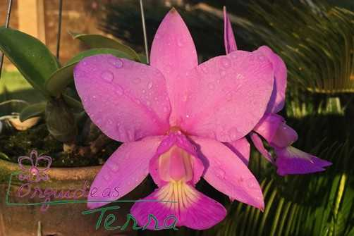 Cattleya-rosa
