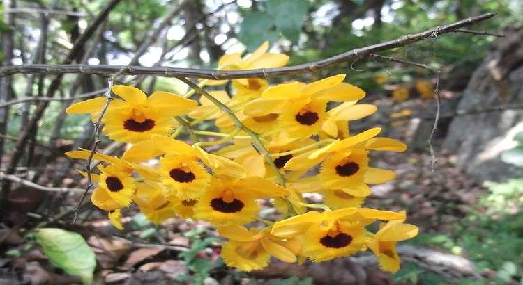 Dendrobium Fimbriatum - Como Ter Florações Lindas e Cheirosas 7