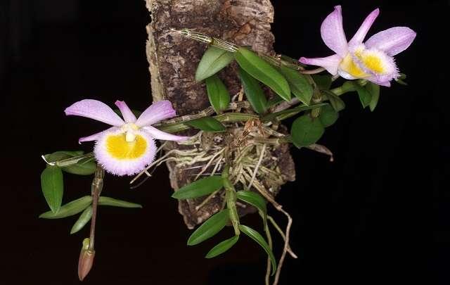 Dendrobium-loddigesii-características