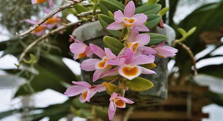 Dendrobium Loddigesii - Como Cuidar Dessa Orquídea em 5 Passos 13